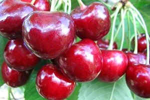 PionerProdukt / ПионерПродукт - Never try unwashed berries on the market. How to pick the most delicious cherries