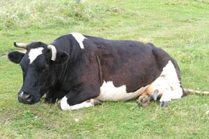 PionerProdukt / ПионерПродукт - Конопляная диета для коров вышла старушке тремя годами тюрьмы