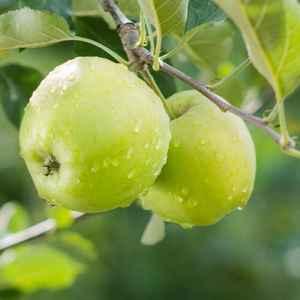 PionerProdukt / ПионерПродукт - Рост местного производства и дешевый импорт поставили российских производителей раннего яблока в невыгодное положение